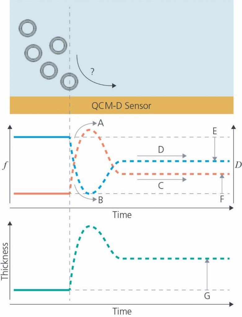 图2 使用QCM-D技术研究磷脂双分子层形成动力学问题
